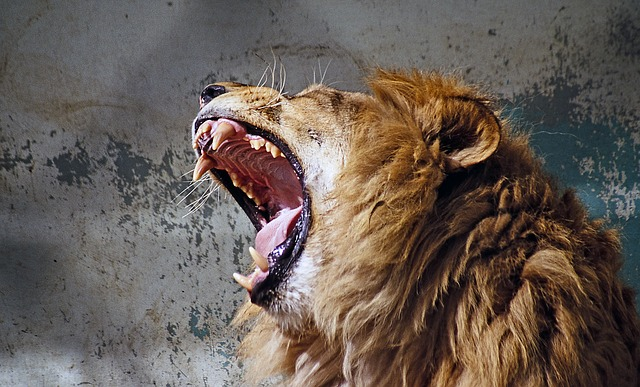 roaring lion photo